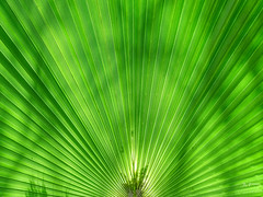 green_001 (Joachim Spenrath Münster, Germany) Tags: grün palmblatt afrika namibia heiss struktur fächer blatt green palm africa hot texture fan subjects leaf hintergrund makro natur outdoor background nature