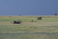 DSC_2655_1 (Marshen) Tags: capebuffalo blackheron elephant botswana