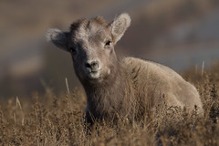 Bighorn Lamb (markvcr) Tags: bighorn lamb sheep rocky mountain wildlife nature canada alberta