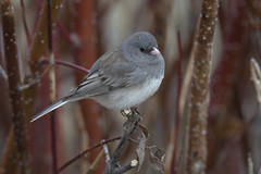 Dark-eyed junco (Peter Stahl Photography) Tags: stalbert alberta canada darkeyedjunco junco spring migrant