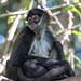 Older Spider Monkey, Sandos Caracol Eco Resort, Mexico