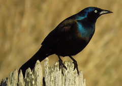 Grackle (got2snap) Tags: cowbird grackle irredescent bird black sx60