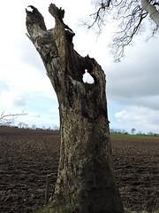 hedgestump (Shannon O'Haire) Tags: got gameofthrones ireland northofireland northernireland kingslanding kingsroad bregaghroad trees darkhedges nature tvshows gothsintrees