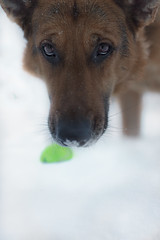 This Is My Ball (Cruzin Canines Photography) Tags: animal animals canon canoneos5ds canon5ds canine 5ds eos5ds dog dogs domesticanimal mammal pet pets gsd germanshepherd shepherd liesl portrait outdoors outside nature naturallight naturepreserve palmerpark colorado coloradosprings winter snow fetch ball