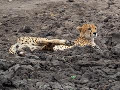 Cheetah resting in the mud, Tarangire, Tanzania (Amdelsur) Tags: guépard tanzanie taranguire continentsetpays afrique acinonyxjubatus africa cheetah guepardo tz tza tanzania régiondarusha