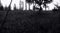 Raindrops on the web. (ALEKSANDR RYBAK) Tags: дождь капли погода природа паутина крупный план монохромный трава деревья rain drops weather nature web closeup monochrome grass trees