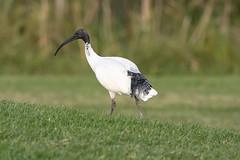 P4190146 (bon97900) Tags: 2019 australianwhiteibis easter2019melbournetrip birds kilsythe melbourne victoria