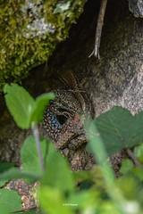 """Liaison cachée"" (leguen.maxime) Tags: lézard murailles animal 2019 printemps amour mai rocher reptile bleu feuille accouplement"