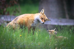 Hello, Child, I Am Listening To Your Concerns (curious_spider) Tags: fox redfox foxes foxkit foxpup foxcub puppycat babyfox