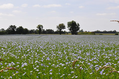Flax field (DameBoudicca) Tags: france frankreich frankrike francia フランス normandy normandie flax lin lein leinfeld gemeinerlein saatlein flachs linfält flaxfield lino linaza linumusitatissimum lincultivé linocomune 亜麻 あま 亜麻畑