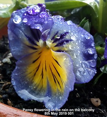 Pansy flowering in the rain on the balcony 8th May 2019 001 (Cropped) (D@viD_2.011) Tags: pansy flowering rain balcony 8th may 2019