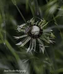 Dandilion (roscherphotography) Tags: dandilion bug weed