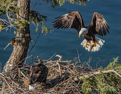 ND5_6400 Mother Tends Dad Supplys (Wayne Duke 76) Tags: fish nest feeding eagles raptors landing
