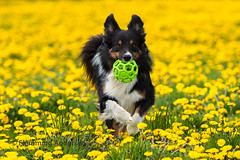 Running (Flemming Andersen) Tags: hund green pet nature dog ball dandelions yatzy bordercollie yellow outdoor animal vejleøst regionofsoutherndenmark denmark