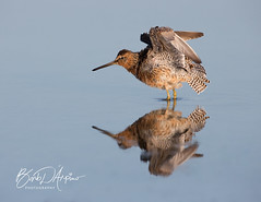Red Knot in breeding plumage (Barb D'Arpino Photography) Tags: redknot shorebird nature wildlife outdoors spring florida usa northamerica barbaralynne copyrightbarbdarpino barbaralynnedarpino barbdeardendarpino canon1dx eos1dx naturephotographer femalephotographer wildlifephotographer wasagabeachphotographer