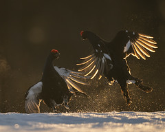 A9_05691 (msmedsru) Tags: black grouse lek finland kuusamo spring snow sunrise golden hour