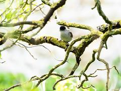 Fauvette à tête noire (Sebastien Del.) Tags: mésange oiseau bird