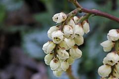 Stachyurus praecox Sieb. & Zucc. - Staartaar (Ruud de Block) Tags: stachyuruspraecox stachyurus praecox staartaar stachyuraceae