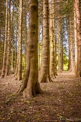 Wexford Trails (Tony Mullen Photography) Tags: newross wexfordireland ireland woodland wood tonymullenphotography forest walkingtrail