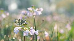Een feest van lentelicht (nikjanssen) Tags: light spring butterfly soft pastel bokeh orangetip oranjetipje bokehlicious