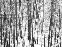 Lines Vertically (Robert Cowlishaw (Mertonian)) Tags: spring2019 mertonian robertcowlishaw melancholy indifference blues depression wilderness canon powershot sx70hs canonpowershotsx70hs photophari cold snow aspens nopurple torpor