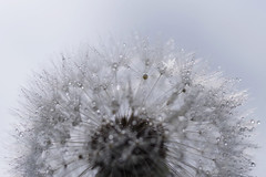 Faerie Kingdom (Hugobian) Tags: little faerie fairy kingdom macro dandelion seed heads sun droplets fantasy pentax k1