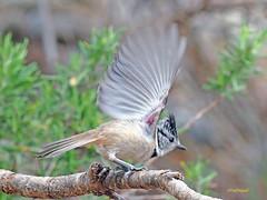 Herrerillo capuchino (Lophophanes cristatus) (25) (eb3alfmiguel) Tags: aves pájaros insectívoros passeriformes paridae herrerillo capuchino lophophanes cristatus