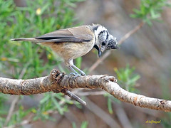 Herrerillo capuchino (Lophophanes cristatus) (23) (eb3alfmiguel) Tags: aves pájaros insectívoros passeriformes paridae herrerillo capuchino lophophanes cristatus