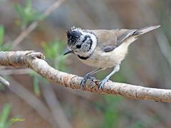Herrerillo capuchino (Lophophanes cristatus) (21) (eb3alfmiguel) Tags: aves pájaros insectívoros passeriformes paridae herrerillo capuchino lophophanes cristatus