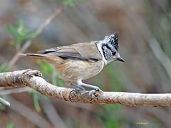 Herrerillo capuchino (Lophophanes cristatus) (17) (eb3alfmiguel) Tags: aves pájaros insectívoros passeriformes paridae herrerillo capuchino lophophanes cristatus