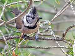 Herrerillo capuchino (Lophophanes cristatus) (7) (eb3alfmiguel) Tags: aves pájaros insectívoros passeriformes paridae herrerillo capuchino lophophanes cristatus