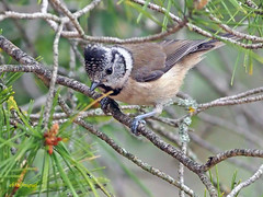 Herrerillo capuchino (Lophophanes cristatus) (5) (eb3alfmiguel) Tags: aves pájaros insectívoros passeriformes paridae herrerillo capuchino lophophanes cristatus