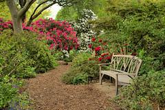 Garden Path (Croydon Clicker) Tags: path footpath rhododendron bush tree flower outside bench seat plants foliage garden landscape wisley surrey rhs