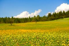 Inebriated (lebre.jaime) Tags: portugal beira templarsroute field flower tree sky cloud bokeh nikon d600 voigtländer nokton 58f14sliis affinity ff fx fullframe