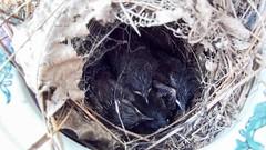 Carolina Wren Chicks - Explored (backyardzoo) Tags: 20190508 carolina chick fourbabies nest nesting wren