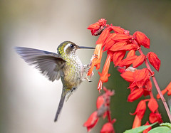 speckled hummingbird (hawk person) Tags: adelomyiamelanogenys hummingbird
