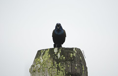 (amy20079) Tags: sky commongrackle nikond5100 maine newengland northamerica bird animal gray piling wild wildlife male blackbird seaside grayday