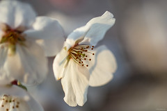 cherry blossoms (Christine_S.) Tags: spring japan canon eos macro closeup m5 nature bokeh ef100mm sunlight bright pretty delicate flower blossoms blossom sakura flowers さくら 桜 ngc