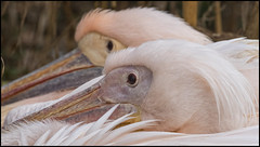_SG_2019_03_0002_IMG_4139 (_SG_) Tags: pelikan pelican tiere tier animal animals vogel bird pelecanidae wasservogel wasservögel waterbirds water birds pelicans