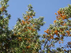 IMG_8342 (belight7) Tags: silky oak nature tso pema rewalsar india himachal