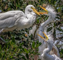 Feed Me! Feed Me! (Wes Iversen) Tags: ardeaalba florida greategrets staugustine staugustinealligatorfarm tamron150600mm birds chicks storytelling wildlife coth5