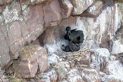 Cormorans huppés (Oric1) Tags: breizh france eos capfrehel oric1 côtesdarmor oiseau birding bird brittany bretagne 22 armorique canon cormoran huppé cormorant nest sea ornithologie ornithology jeanlucmolle
