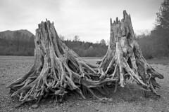 Together Forever (vtom61) Tags: pentax pentax67105mm24 pentax67ii kodak tmax kodaktmax400 120 mediumformat film pentaxmediumformat rattlesnakelake tree stumps