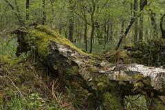 WetWood (Tony Tooth) Tags: nikon d600 nikkor 50mm f18g tree treetrunk fallentree deadtree wet afterrain evening danebridge wood woods woodland staffs staffordshire