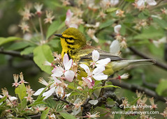Prairie Warbler Male (Laura-Meyers) Tags: greenwoodcemetery prairiewarblermale