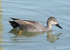 Gadwall (ƒliçkrwåy) Tags: bird nature gadwall anasstrepera wwt arundel duck