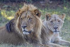 South Africa (ErwanGrey) Tags: leon lion africa safari pilanesberg