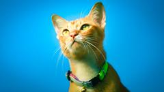 Blue Heaven (stratman² (Joey's finally home)) Tags: canonphotography eos450d ef70200mmf28lisusm babykat gingercats cc100 catmoments flickrelite felinephotography pet portrait kitteh chat neko gato