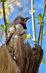 Northern Flicker on Flickr (Meryl Raddatz) Tags: flicker bird nature naturephotography canada