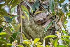 Baby Sloth Close-up (helenehoffman) Tags: mother costaricapanama2019 costaricantrails conservationstatusleastconcern arenalvolcanonationalpark uncruiseadventures mammal costarica bradypusvariegatus motherandchild arboreal sloth 3toedsloth brownthroated3toedsloth animal